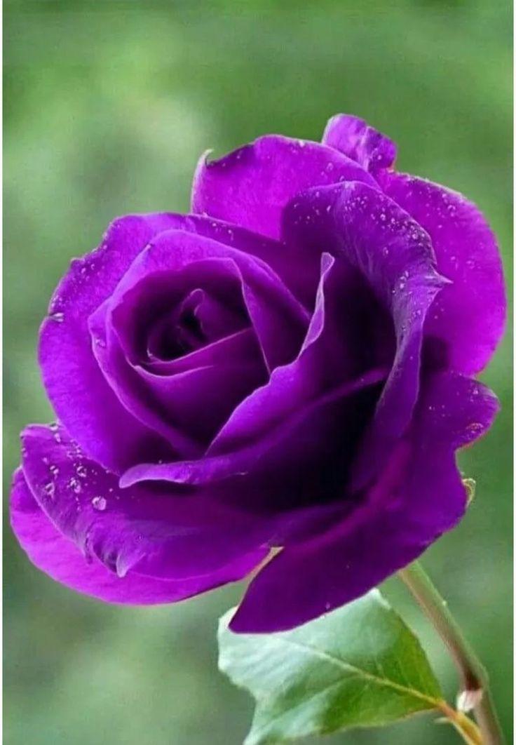 красивая сиреневая роза фото поздравления юбилеем выбирайте