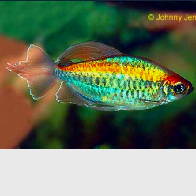 I WANT ONE! It's called a Congo Tetra