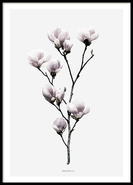 Schönes Poster mit botanischer Fotografie mit Magnolienblüten. Das Motiv ist von einem grauen Hintergrund mit weißem Rand umgeben. Das Poster passt perfekt zu unseren anderen botanischen Postern, wie der Lotosblume aus der gleichen Serie, oder zu unseren Typografie-Postern mit Zitaten oder Plakaten mit Fotokunst. www.desenio.de