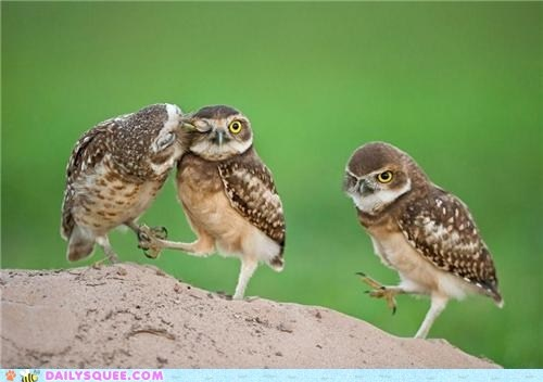 """Number one is kissing number two who is thinking """"WTF"""" number three is grumpy for not getting a kiss. Cute birds/owls :D :3"""