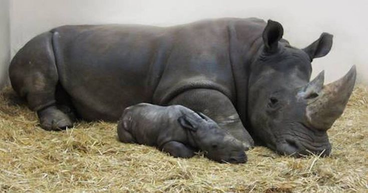 """#Congratulations #HOPE #wildlife #endangered #species Toronto #Zoo received special present this Christmas 2017!After 16-month pregnancy, #white #rhinoceros, Zohar, gave birth to male #calf on Christmas Eve.136-pound newborn is doing great, already has strong appetite """"Both mom & baby are doing very well, with reports that mom is very tired but a very calm & protective first-time mom,"""" the Toronto Zoo."""