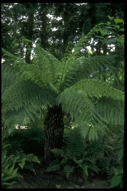 Tasmanian Tree Fern  Dicksonia antarctica