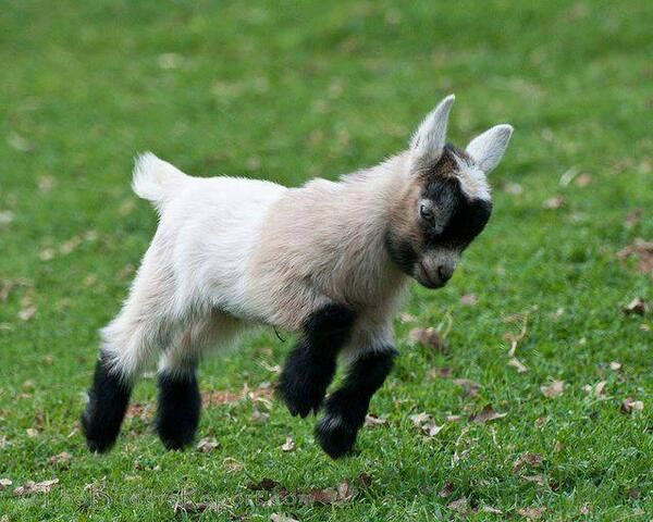 And for you a baby goat. Your day just got better. You're welcome.