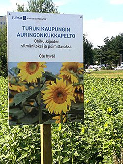 Sunflowers grown for the citizens - free to pick! A gift from the town Turku, Finland