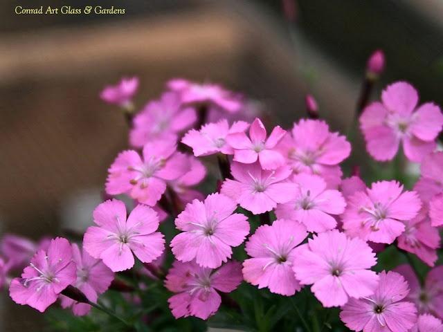 Dianthus gratianopolitamus 'La Bourboule'... I know your ...