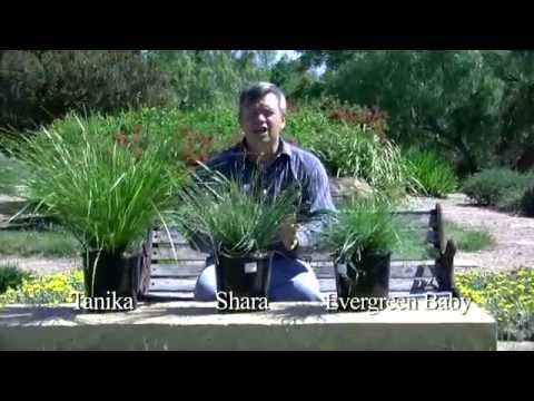 248 best landscape gardening plants images on pinterest native evergreen baby lomandra is a tough super compact plant that handles periodic wet feet thecheapjerseys Image collections