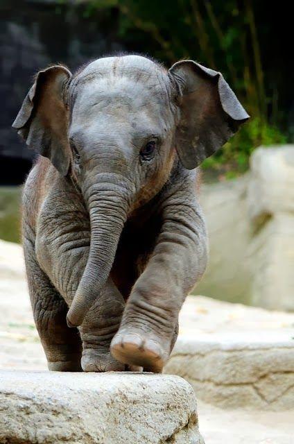 Los elefantes son los animales terrestres más grandes que existen actualmente. El periodo de gestación es de 22 meses, el más largo en cualquier animal terrestre. El peso al nacer usualmente es 120 kg. Normalmente viven de 50 a 70 años, pero registros antiguos documentan edades máximas de 82 años.