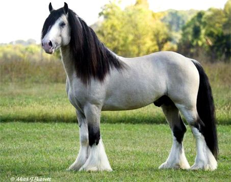 Taskin - Here is the rare champagne buckskin Gypsy Vanner, Taskin. This Gypsy stallion competes and wins, with several championships to his name, in Pleasure Driving and under saddle events. Taskin's beauty is so undeniable, he's been recreated as Breyer horse.