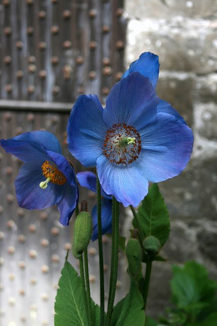 Blue Poppy, Bodnant Gardens, North Wales