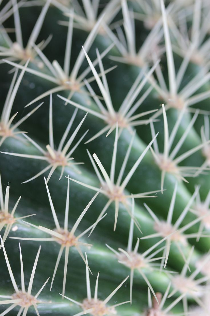 Golden barrel cactus, echinocactus grusonii. Close up of prickly spines on a #golden #barrel #cactus