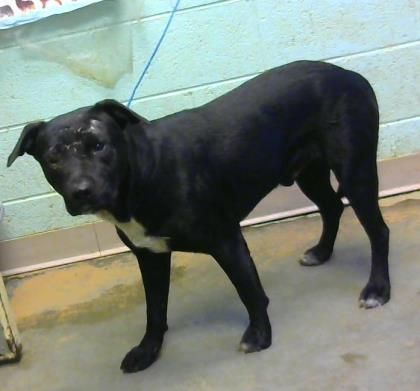 STATUS UNKNOWN - Al - URGENT - Dekalb County Animal Shelter in Decatur, Georgia - ADOPT OR FOSTER - 2 year old Male Pit Bull Mix