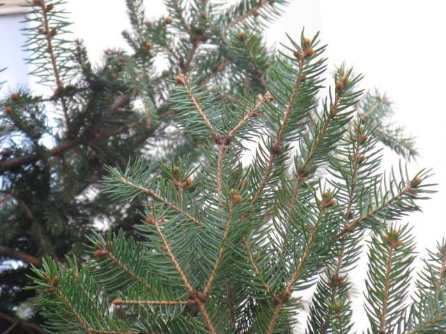 12月24日の誕生日の木は「モミ(樅)」です。 さて、今日はクリスマスイブ。クリスマスツリーとして使われるモミですが、モミをクリスマスツリーとして用いるのは、実は日本だけです。ヨーロッパで広くクリスマスツリーに使われる木はドイツトウヒで、学名をPiceaabiesといいます。この種小名abiesがマツ科モミ属の属名Abiesと同じなので混同されモミが使われるようになったとされています。 モミは、マツ科モミ属の常緑針葉樹。原産地は日本。秋田県以南の本州と、四国、九州、南端は屋久島までに分布します。丘陵地から山地に広く生育し、ツガなどと混交林を作り、純林を形成することあまりありません。 樹高は20m~30m。希に樹高40m、直径1.5mほどに達するものもあります。樹形は綺麗な円錐形となります。3年に1度くらい開花結実するといわれています。