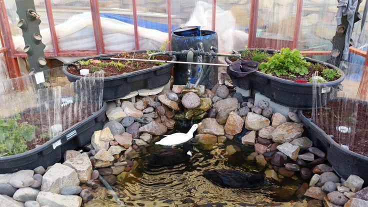Duck And Talapia Pond Feed Our Aquaponics Beds In Our