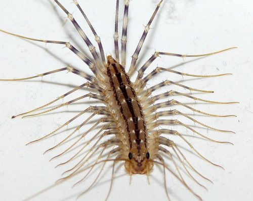57 best house centipede images on Pinterest | Centipedes, Insects ...