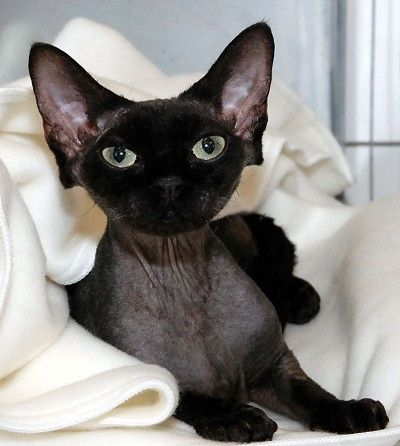 Black Devon Rex, my fave