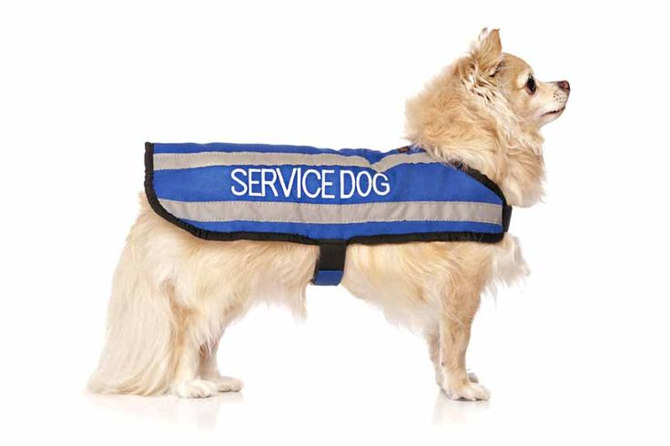 """Blue SERVICE DOG coat is light weight and fleece lined. Waterproof with two reflective strips on each side. Fits back length 30cm (12"""")  Girth/Belly max 30 - 53cm (12 - 21"""") words printed on both sides. Model: Chihuahua"""