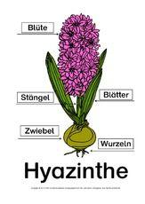 Hyazinthe-Bezeichnungen-Lösung.pdf