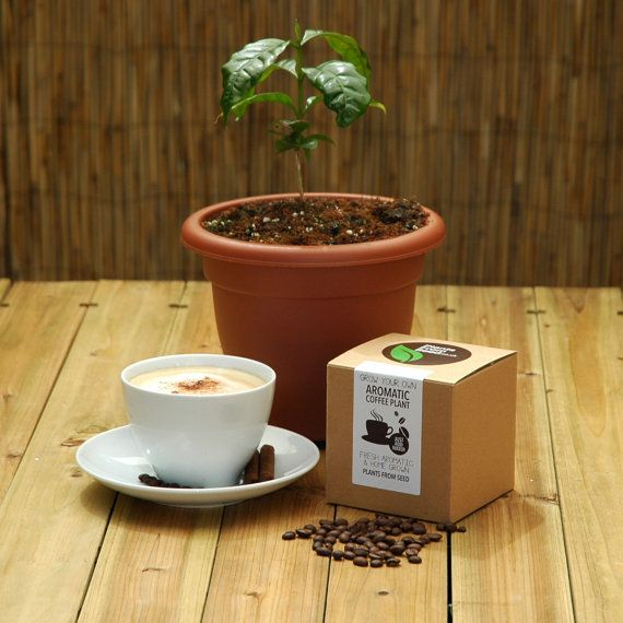 Aromatic Coffee Plant (Arabica Nana). Do you crave a cappuccino or long for a latté? This kit includes everything needed to grow your own coffee
