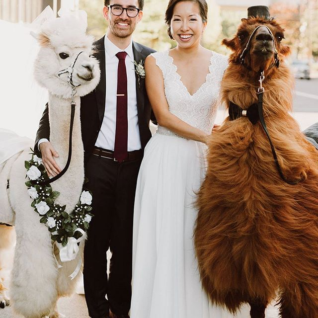 You can hire wedding llamas now!