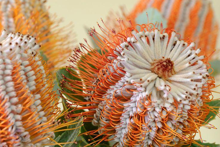 Banksia coccinea. Looks rather alien.