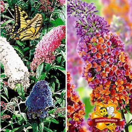 Sommerflieder-Sortiment zum Voteilspreis,2 Pflanzen