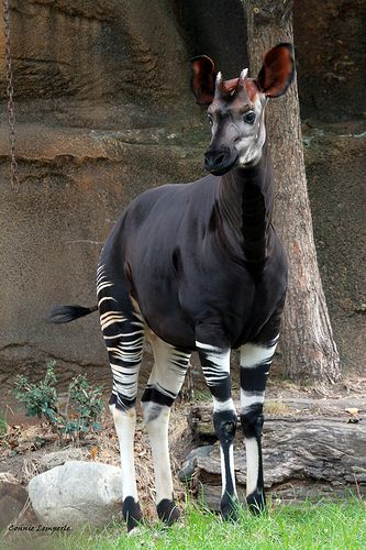 Okapis are herbivores, feeding on tree leaves and buds, grasses, ferns, fruits and fungi. Although the okapi bears striped markings reminiscent of zebras, it is most closely related to the giraffe.