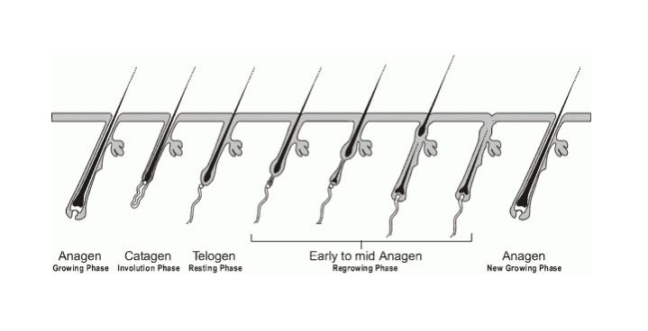 Spectral.DNC-S, hair-growth cycle