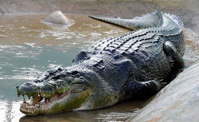 Reptiles - Facts, Characteristics, Anatomy and Pictures - Part 2 - Saltwater Crocodile
