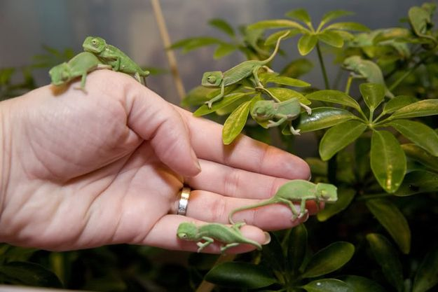 I'm generally not much of a lizard person, but baby chameleons? Kind of enchanting!