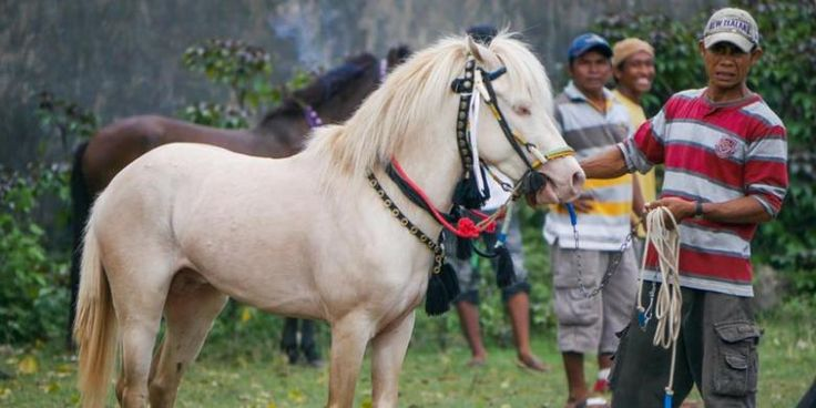 Sumbawa pony. Pulau Sumbawa di Nusa Tenggara Barat adalah tempat bagi kuda liar sumbawa yang kesohor. Tetapi sayangnya Sumbawa merupakan destinasi yang sering dilupakan wisatawan.
