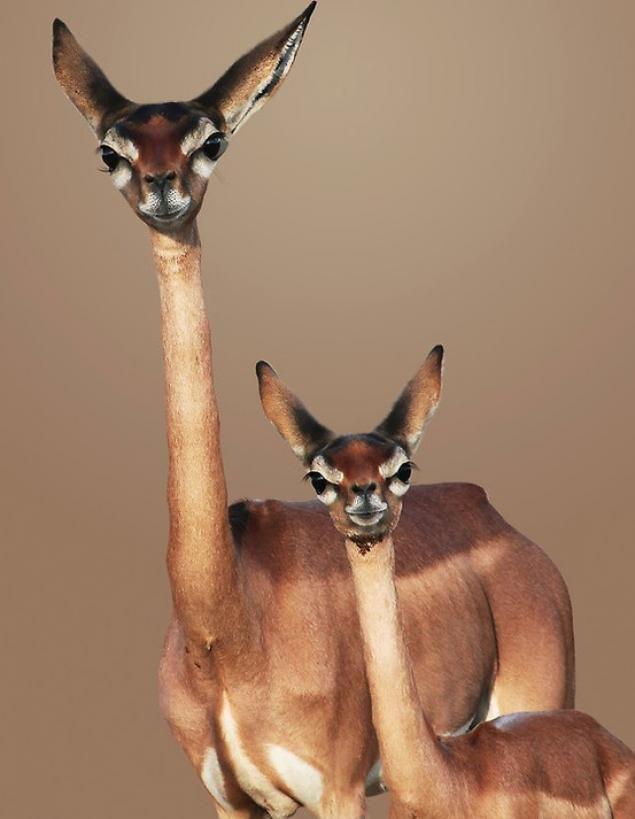 Olhando de cima para baixo. Litocranius walleri, um antílope encontrado em regiões áridas da África. Tal espécie possui pescoço muito longo e fino, que lembra o das girafas.   http://twentytwowords.com/a-ridiculously-large-collection-of-animals-and-their-babies-75-pictures/