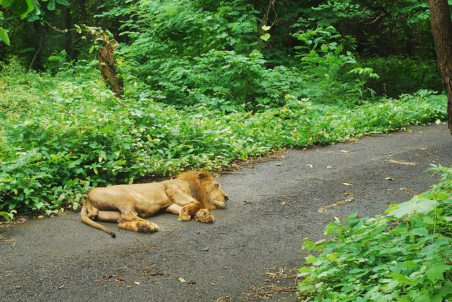 Relaxing lion at Sanjay Gandhi National Park in suburban Mumbai.  The park is 40 square miles and surrounded on three sides by city.