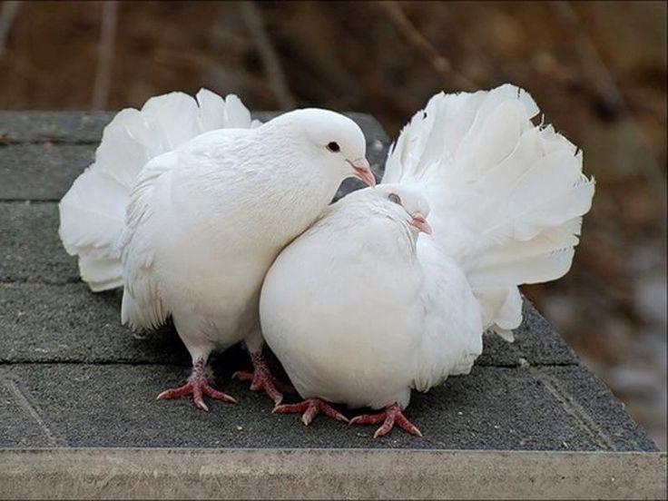 Мира …, символ счастья - Белый голубь..