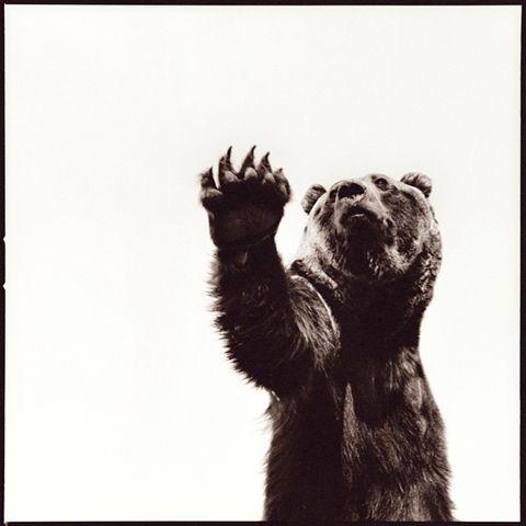 nine_francois_photography: Nine Francois Photography, Francois Prints, Animal Photography, De Animal, Art, Dramatic Animal, Brown Bears, Animal Portraits, Nine D'Urso