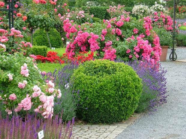 Carpet rose tree rose boxwood and lavender landscape for Garden rose trees