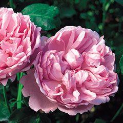David Austin Roses.  So pretty and so fragrant!  This variety named for Charles Rennie Mackintosh, my favorite Scottish architect.