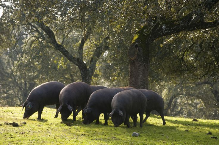 Los mejores cerdos ibéricos, seleccionando los mejores e incorporando su talento en la elaboración de nuestros productos ibéricos de altísima calidad desde el orígen.