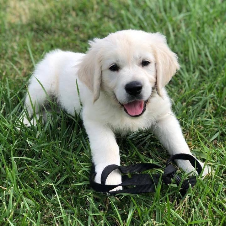 English Cream Golden Retriever Puppies Price Cuteanimals In 2020