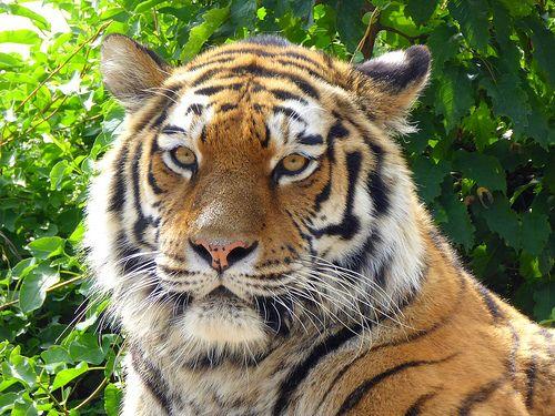 Siberian tiger, Tiergarten Schönbrunn, Vienna - http://www.1pic4u.com/blog/2014/10/08/siberian-tiger-tiergarten-schoenbrunn-vienna/