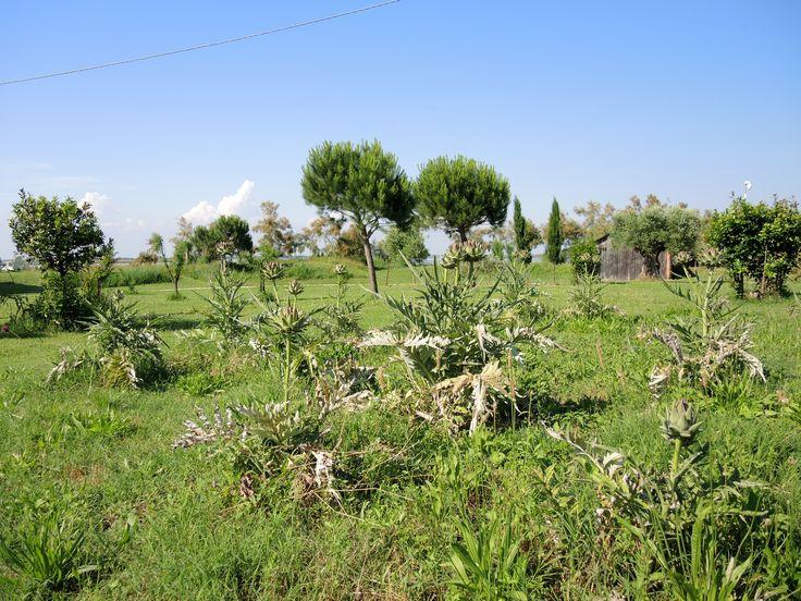 Artichoke field in the Island of Torcello