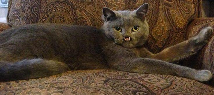Lazarus, l'adorable chat-vampire nouvelle star d'internet