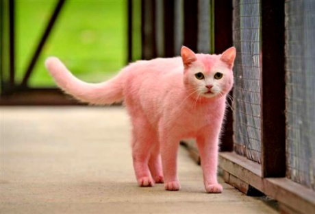 pink cat: Kitty Cat, Pink Kitty, New Hair Color, Kitty Kat, Pinkcat, Pink Panthers, Pink Cat, Dyes, Kittycat