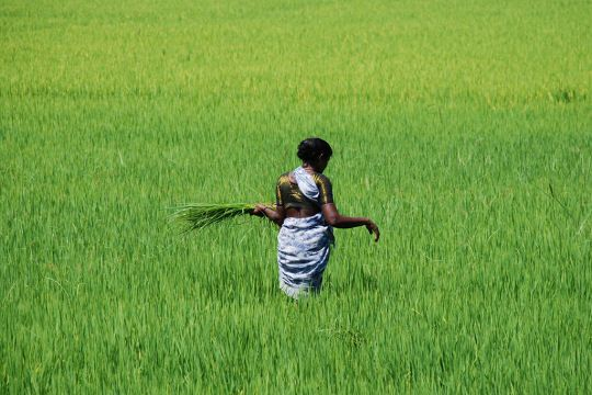 Rizière à Chennai. Chennai, anciennement appelée Madras, est la capitale de l'État du Tamil Nadu dans l'Inde du Sud.