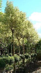 Ligustrum Japonicum, bright green and cream variegated leaves, evergreen, small white flowers late summer, dark berries autumn, 3.5-4 metres
