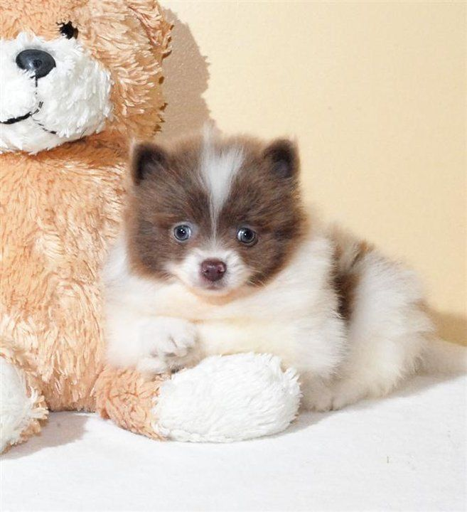 taupe and white pomeranian puppy