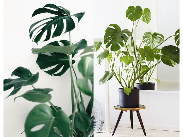 Plant in de spotlight: Monstera Deliciosa