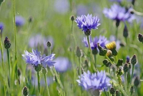 Just Seed British Wild Flower - Cornflower - Centaurea cyanus -10g by Just Seed, http://www.amazon.co.uk/dp/B0084C7EW8/ref=cm_sw_r_pi_dp_4agyrb16591B0
