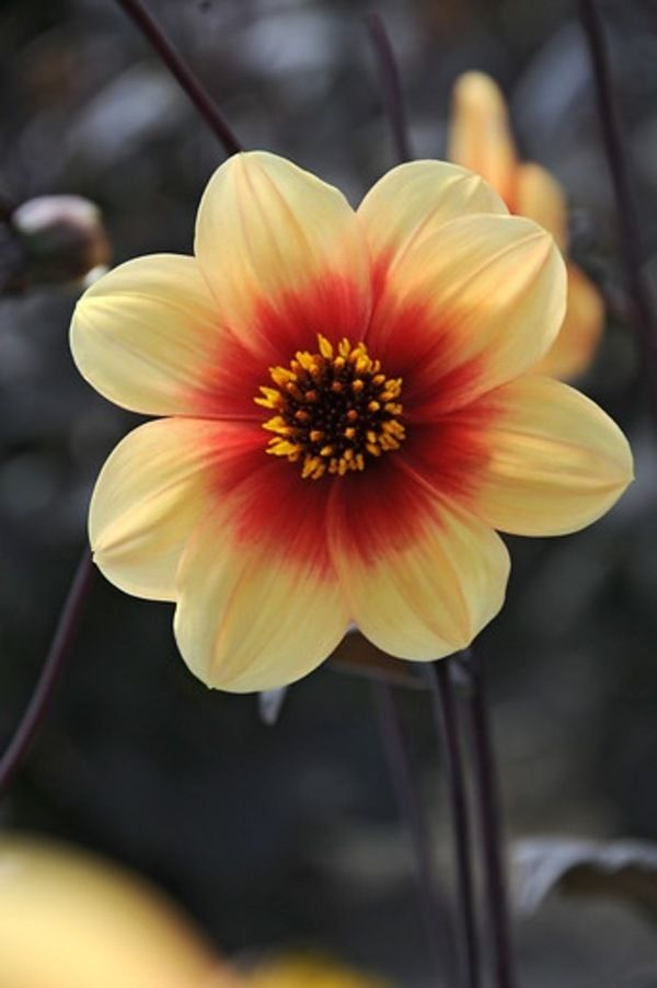 Sunshine Dahlia Golden Yellow Flowers With Orange Centers Atop A