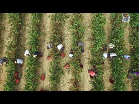 YouTubeΟ τρύγος στην Αρχαία Νεμέα από ψηλά. The harvest in Ancient Nemea from above.Greece drone video.