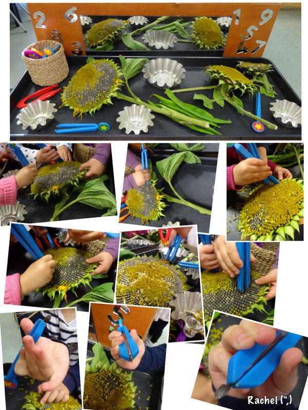 "Exploring sunflowers and beans with tweezers... and fingers - from Rachel ("",)"